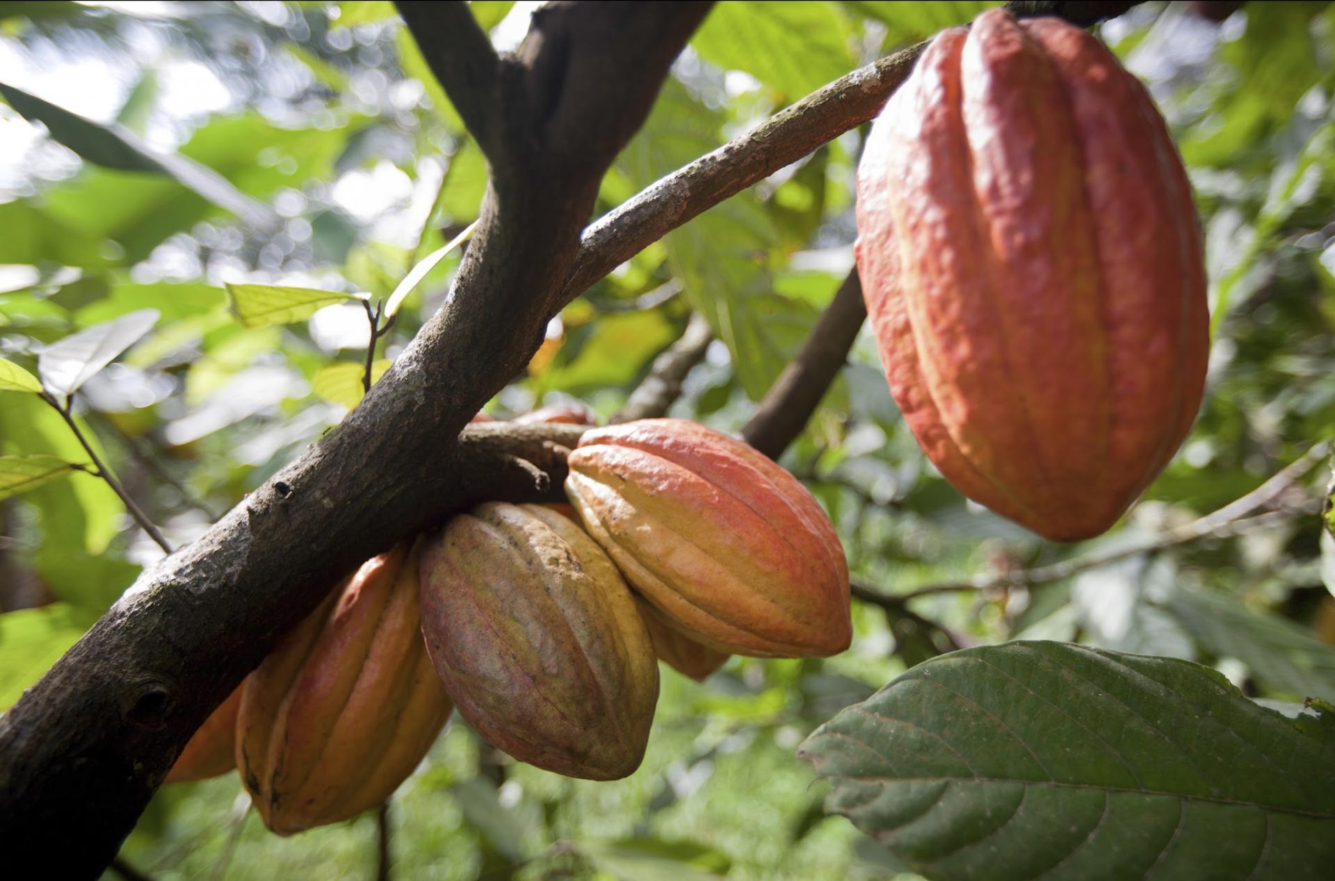 Barry Callebaut launches pilot to drive systemic change in cocoa farming