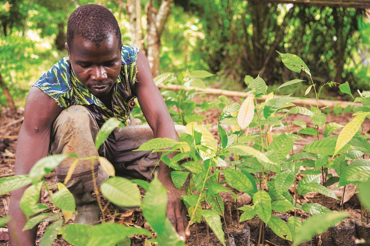 Farmer at cocoa nursery
