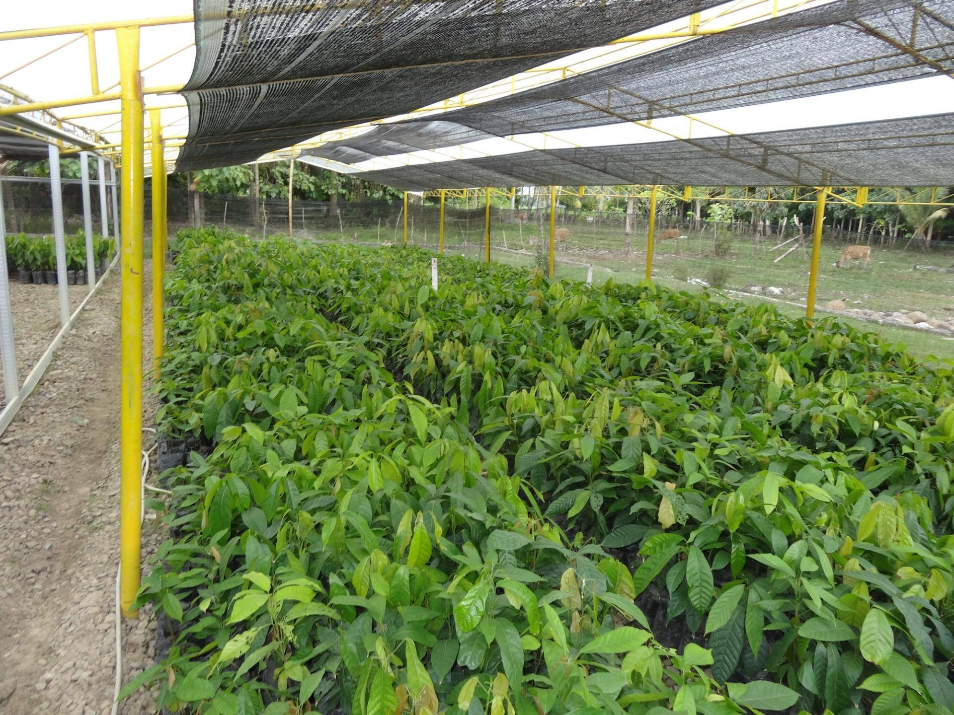 sustainable cocoa cultivation