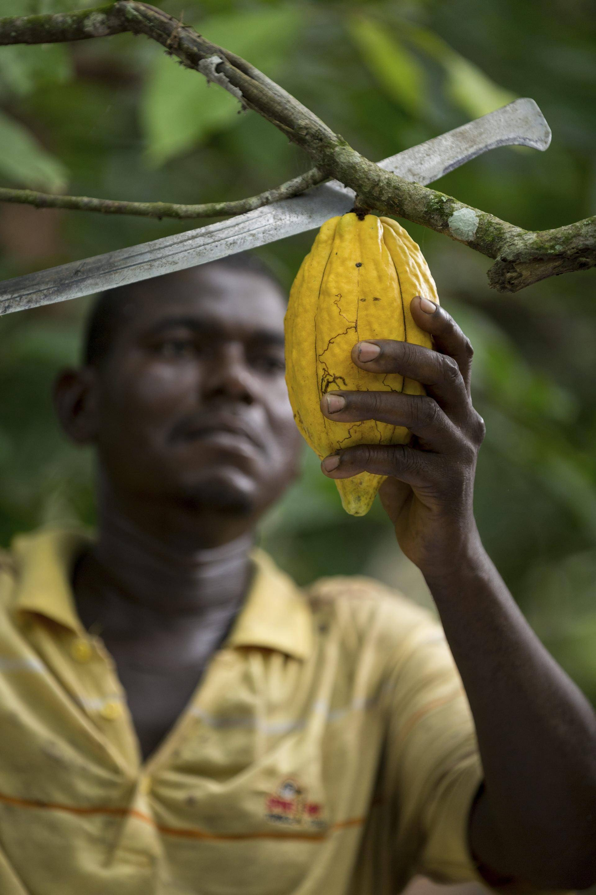 cocoa farmer in West Africa harvesting cocoa