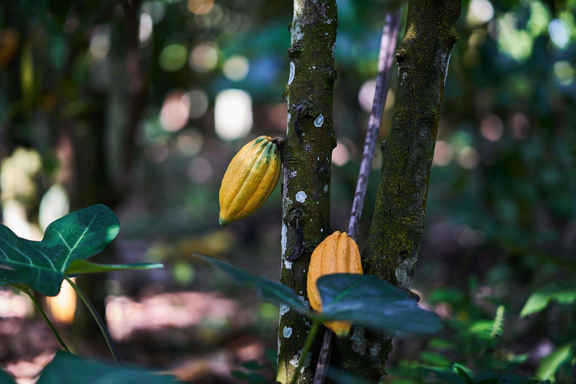 Chocolate companies to end deforestation and restore forests