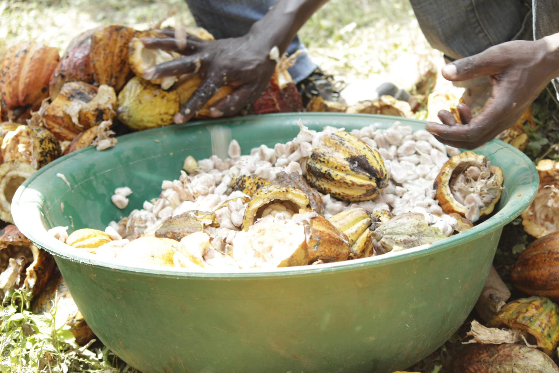 Farmers cleaning cocoa beans