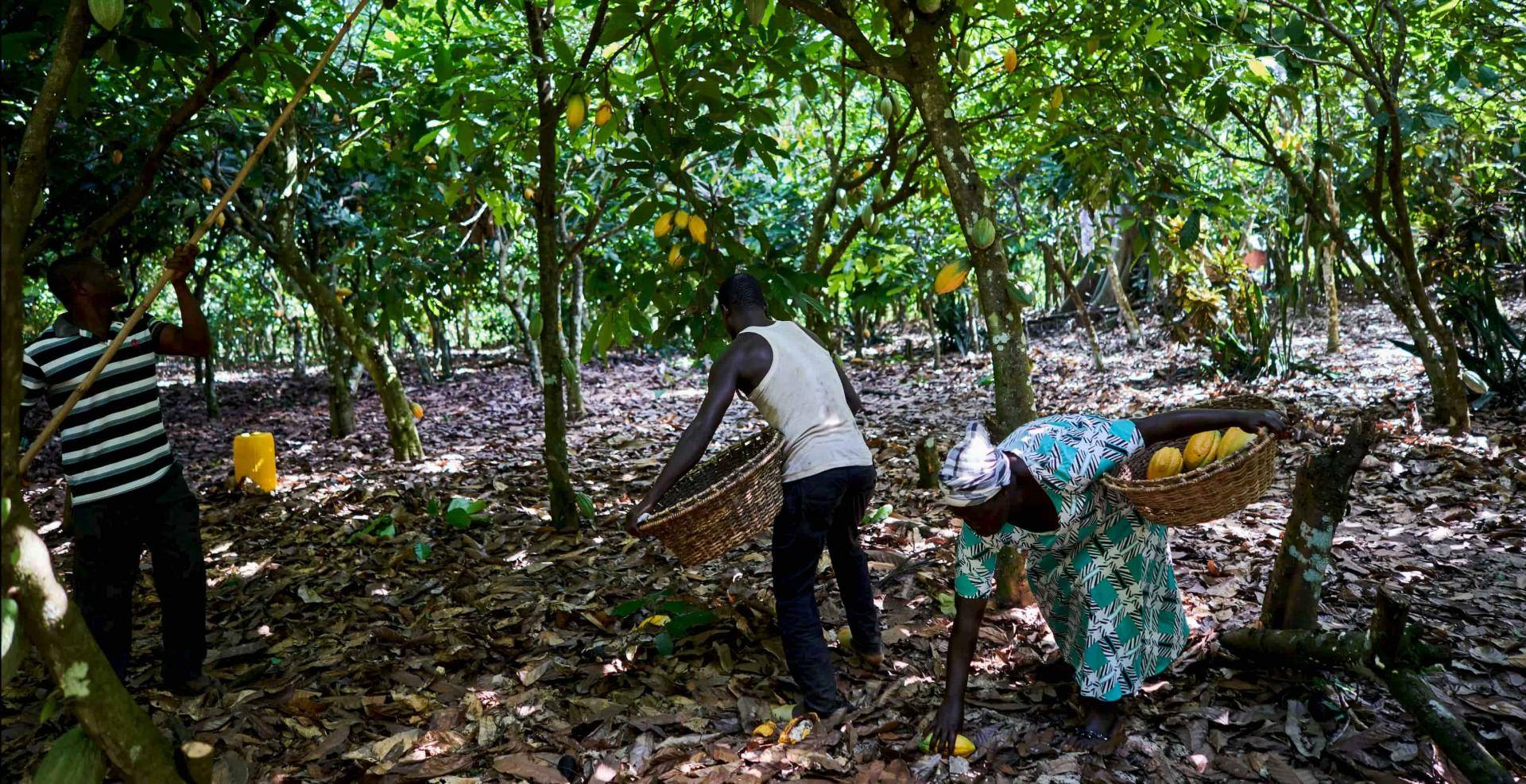 cacao farmers collecting cacao pods