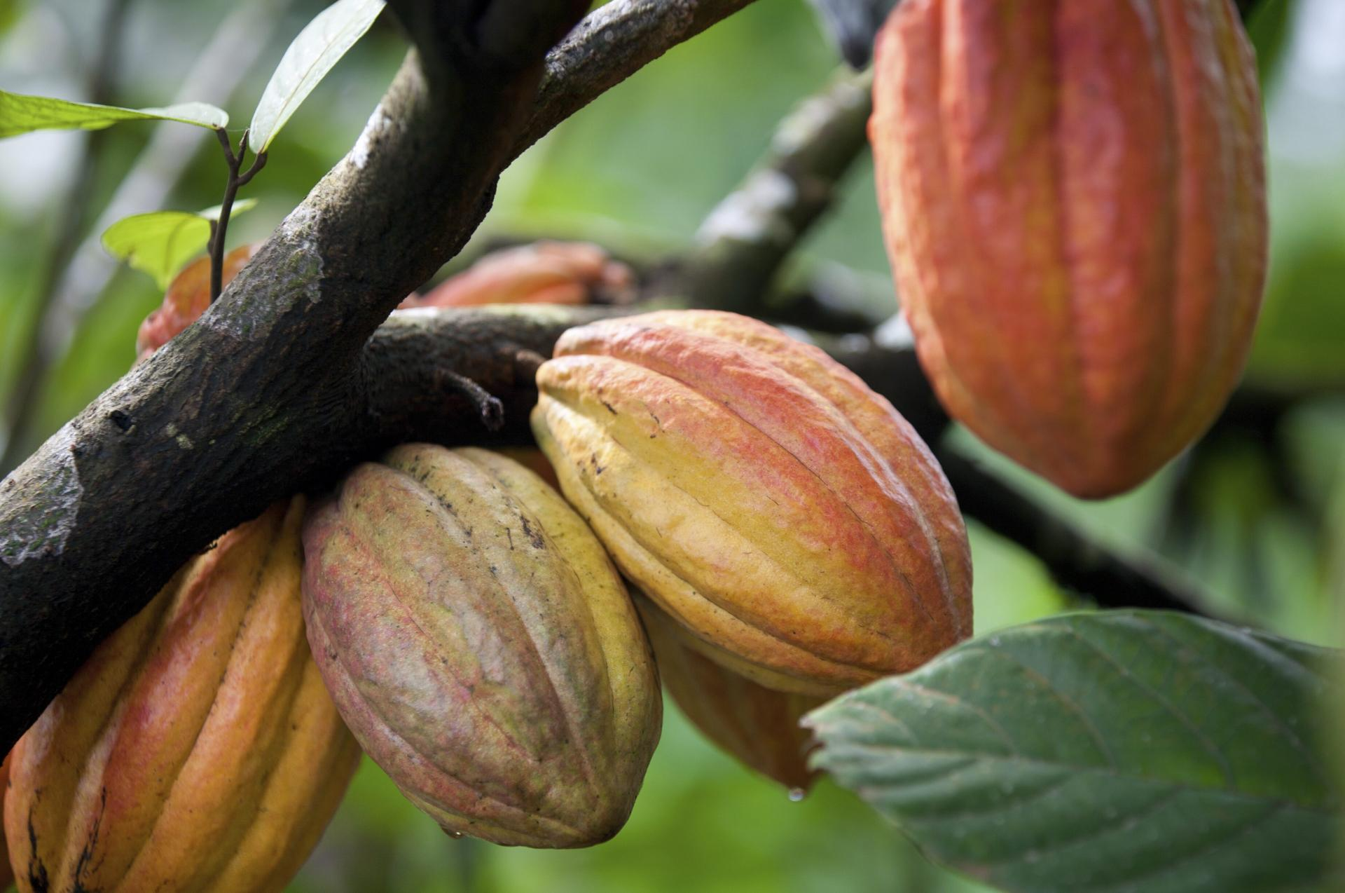 Sustainable Cocoa is one of the four pillars of Barry Callebaut's corporate strategy, alongside Expansion, Innovation, and Cost Leadership.