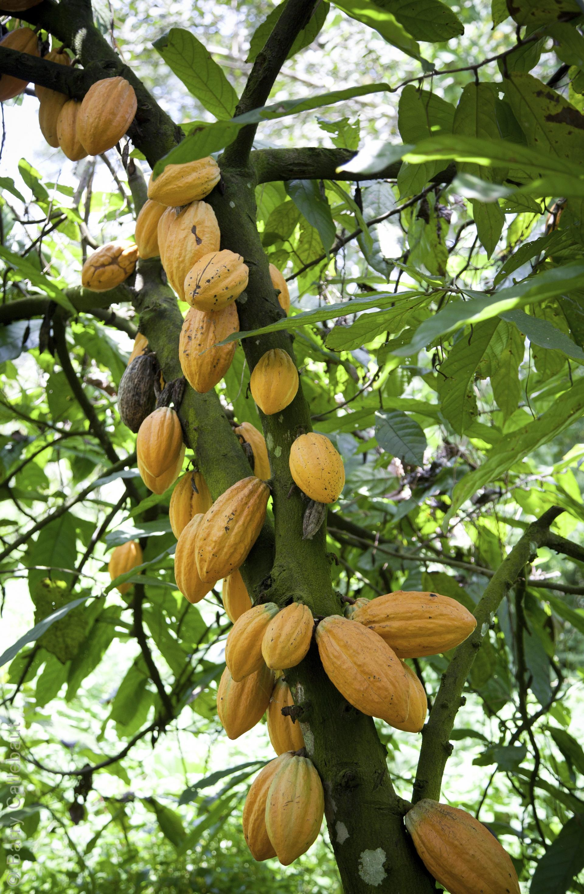 Barry Callebaut cocoa production
