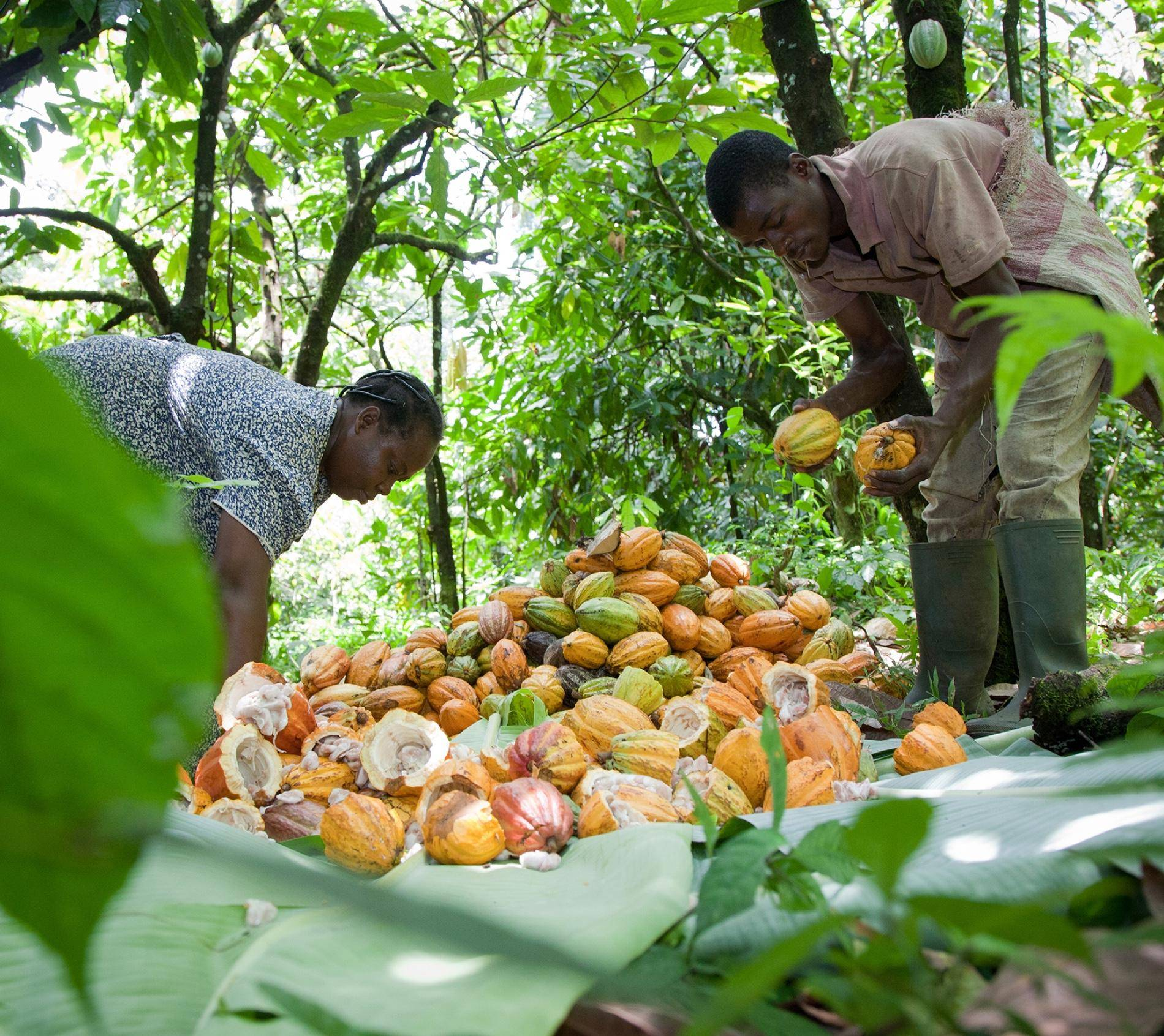 cacaofruit farmers collecting cacaofruits