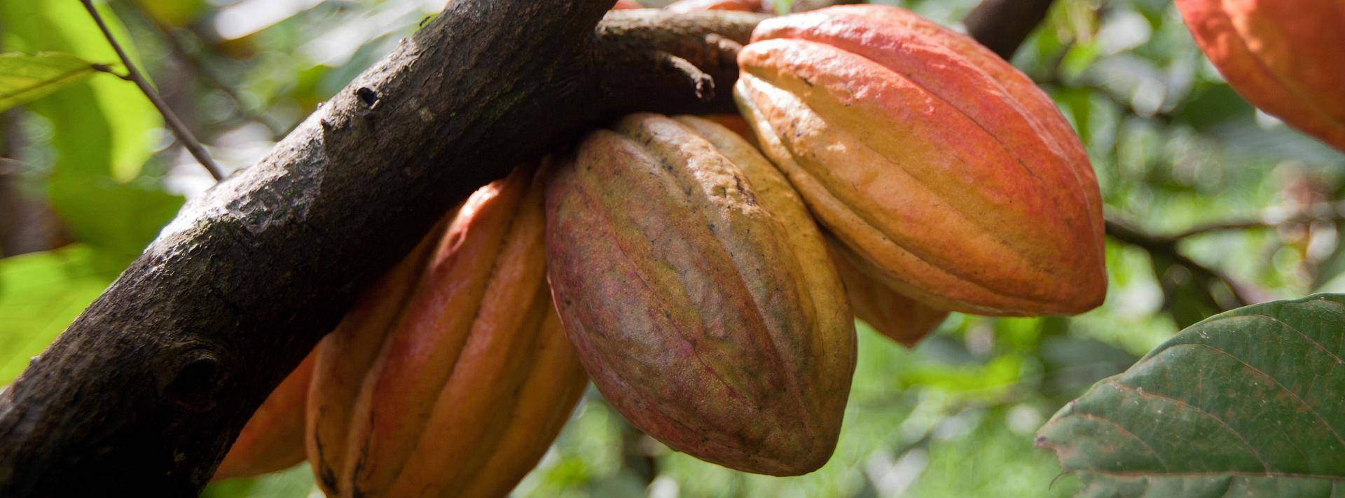Cocoa pods from Cameroon