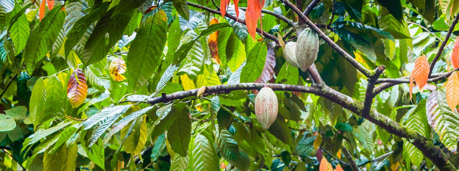 cacaofruit hanging in tree