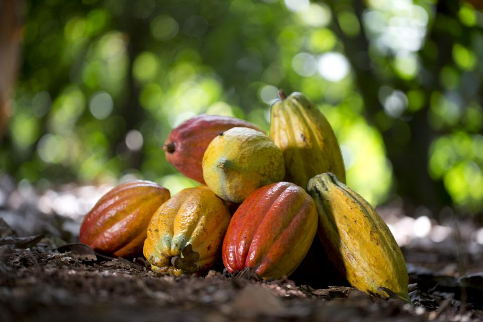 Ivory coast cocoa bean cultivation