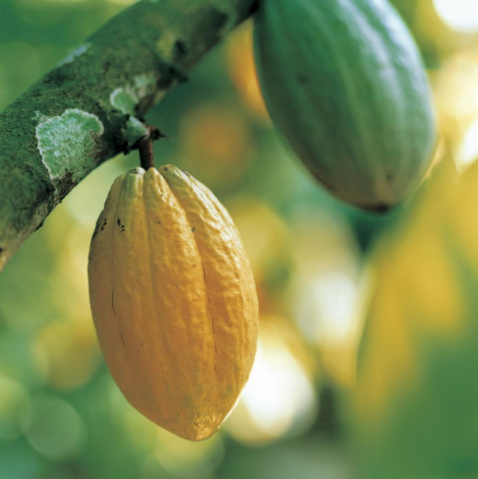 Theobroma cacao, the food of the gods
