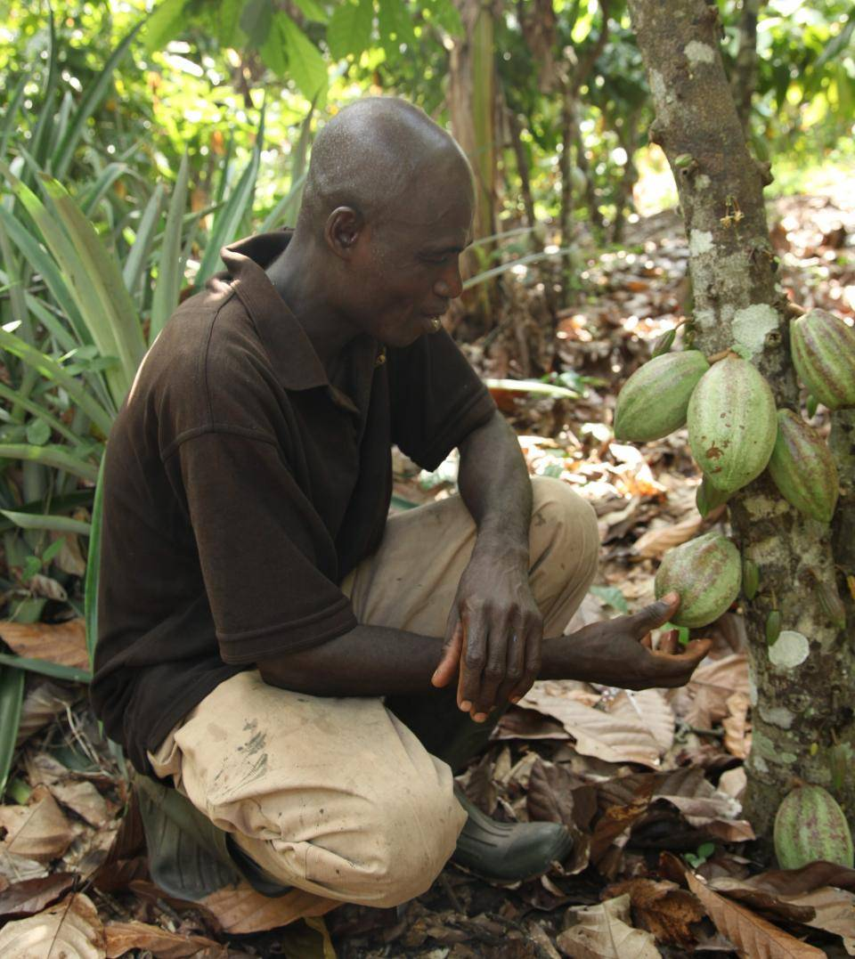 Cocoa cultivation in Ivory Coast