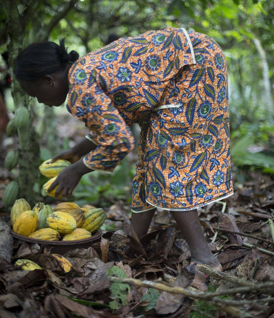 Female farmer harvesting Cocoa in Côte d'Ivoire