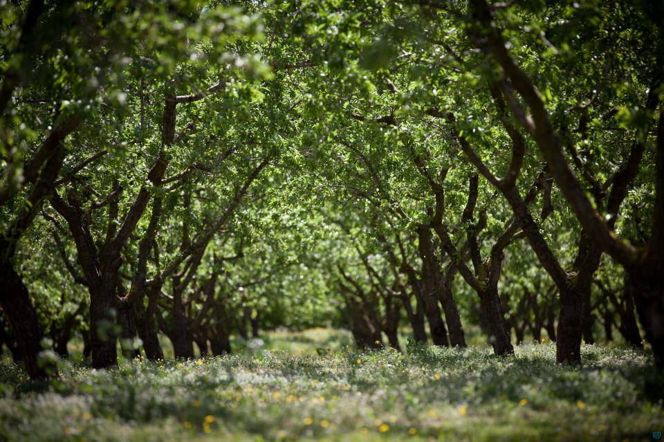 Hazelnut orchards in Spain