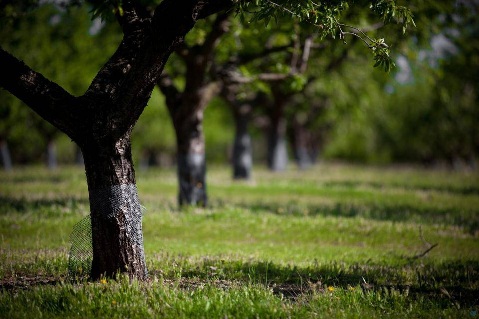 Spanish almond orchard