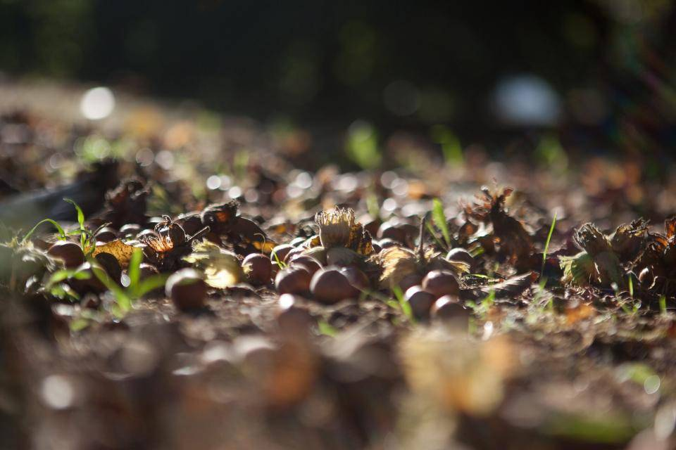 Fresh hazelnuts in the fields