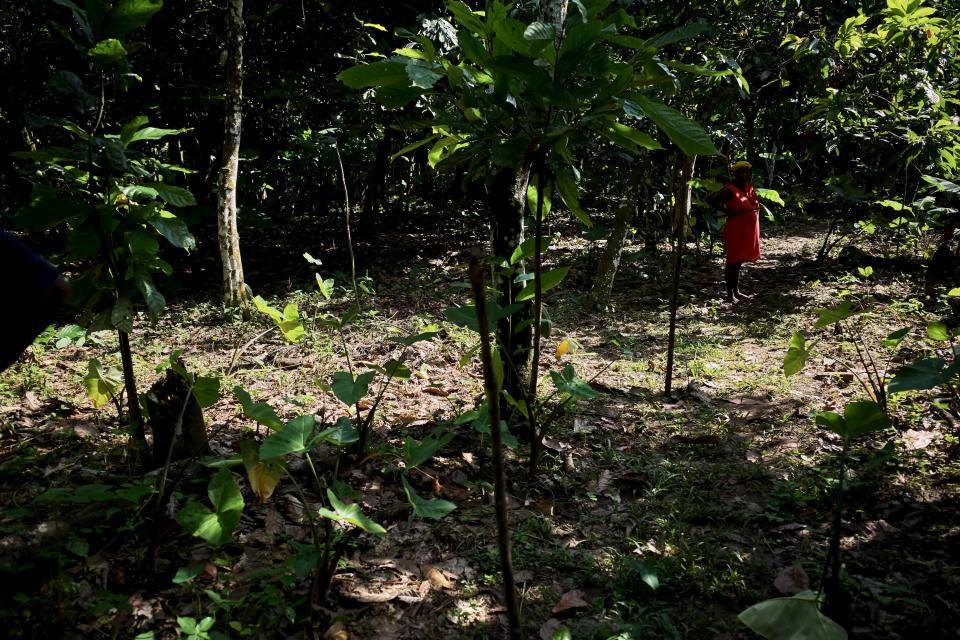 agroforestry cocoa plantation in Ghana