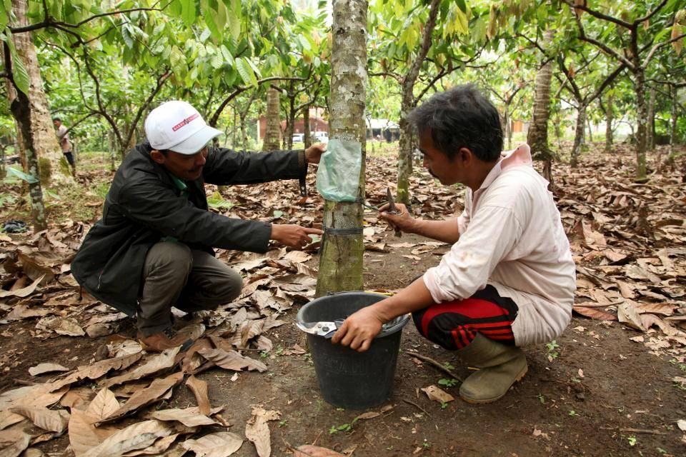 training cocoa farmers indonesia