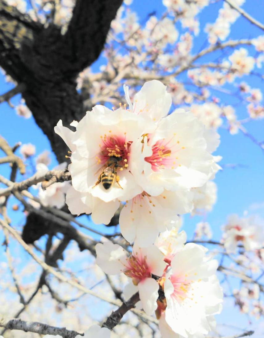 Bee pollinating a Marcona almond flower