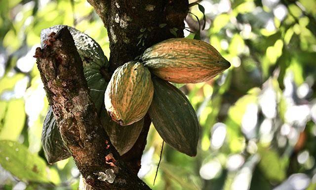 Van Houten Santo Domingo - organic cocoa