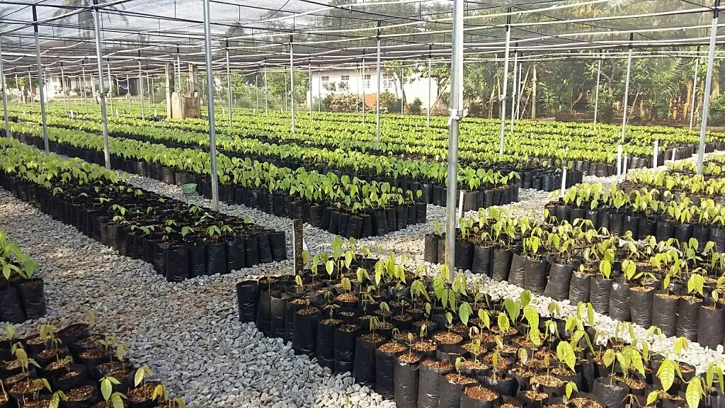 Cocoa nurseries program Indonesia