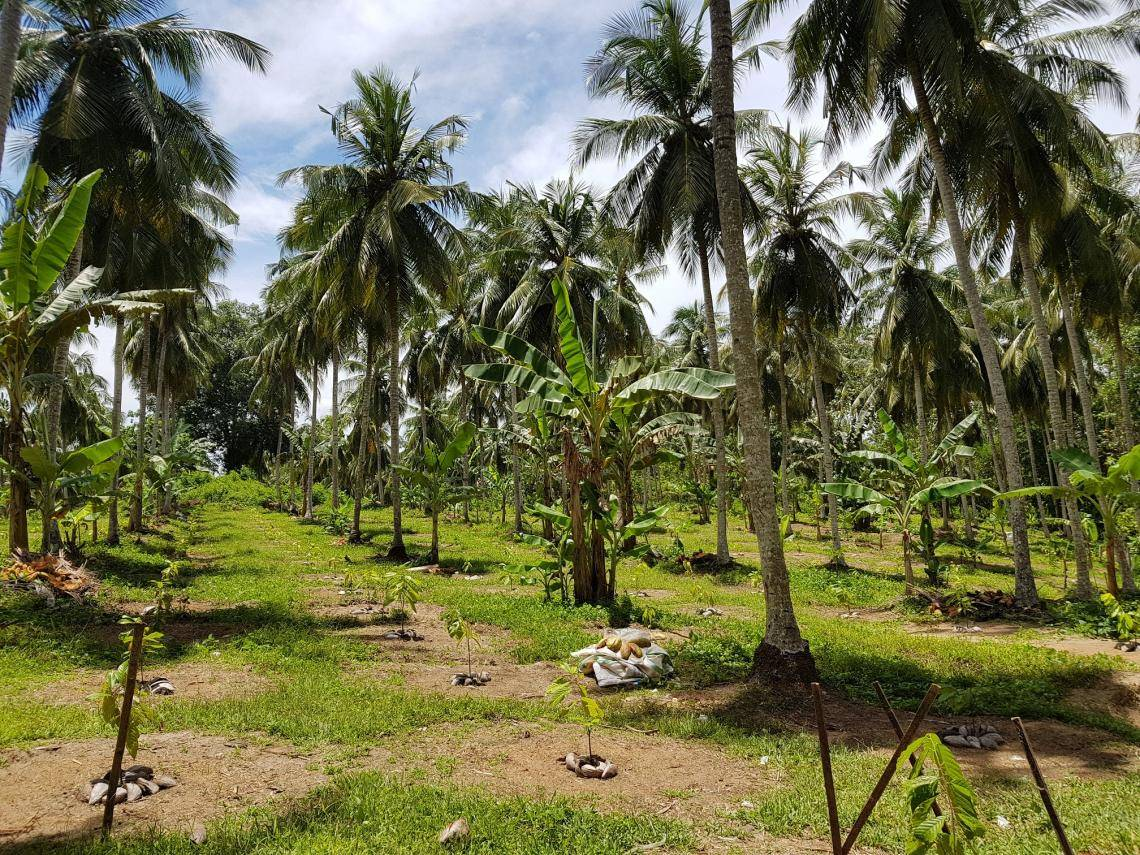 coconut and cocoa farming