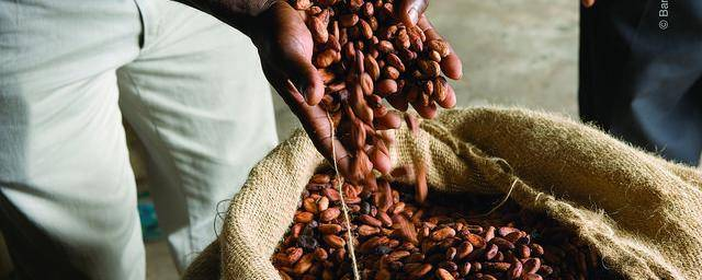 Cocoa beans packed in Jute bags
