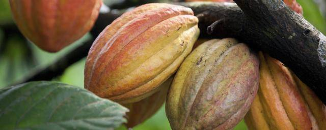 cocoa pods - organic chocolate
