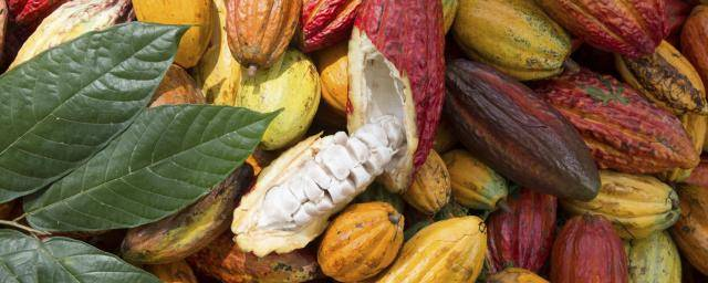 BCFM - Cultivation - Sustainable - Cocoa Horizons Foundation - cocoa pod (1)
