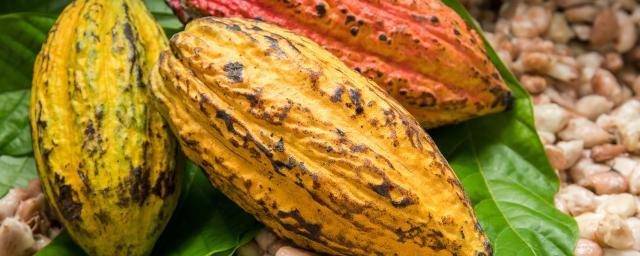 Single Origin cocoa pods