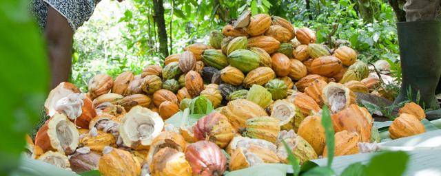 cacao fruits piled up