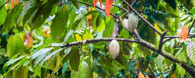 cacao fruits hanging in tree