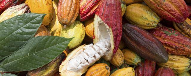 Cocoa pods for traceable chocolate