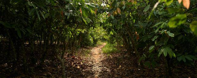 Why the future of chocolate depends on healthy forests