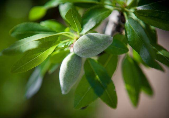 Fresh almonds on an almond tree